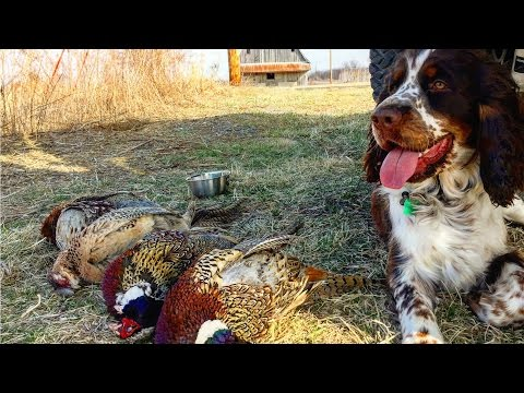 Self Filmed Pheasant Hunt