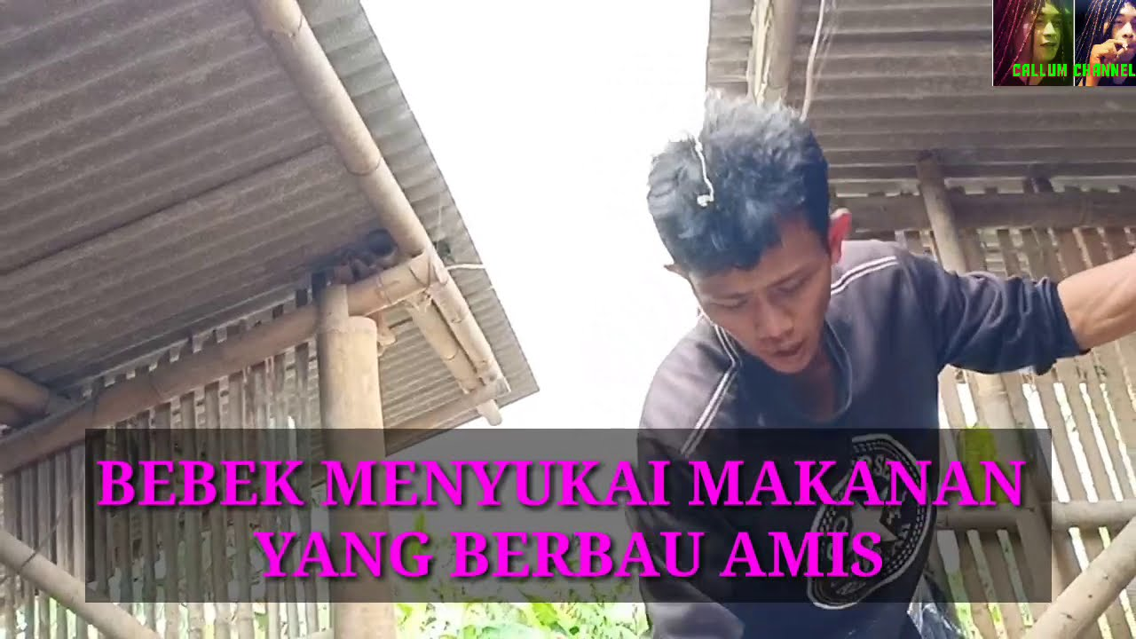 3 Ramuan Pakan & Jamu Ayam bangkok Tradisional Paling Ampuh
