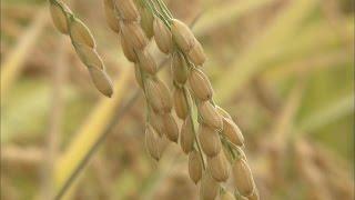 【農業とわたしたちのくらし】 (2) 米ができるまで 米ができるまでを作...