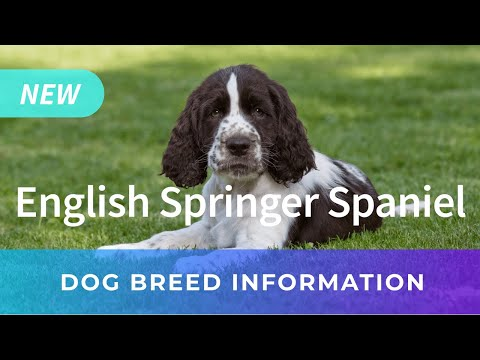 English Springer Spaniel Information | Chews A Puppy