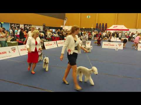 Euro Dog Show 2019  - Bedlington Terrier - Champion Dog