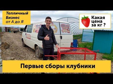 Первые сборы клубники в апреле. Цена на ягоду в Экоферме Шешиных