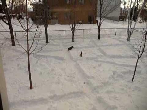 Swedish Vallhund Snow Maze