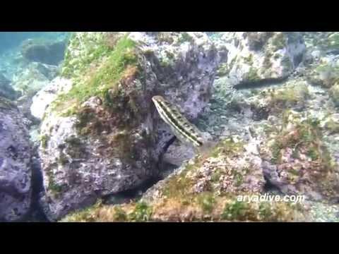 (청)개베도라치(Petroscirtes variabilis)~ Variable sabretooth blenny, Variable fangblenny