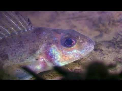 ЧТО ДЕЛАЮТ ОКУНЬ И ЁРШ НОЧЬЮ. О чём молчат рыбы 64