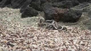 fhfs commentary(iguana vs snakes BBC Iguana vs Snakes - Planet Earth 2)