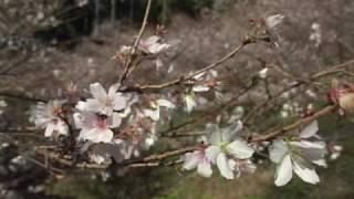和紙のふるさと小原の四季桜-[Network2010]