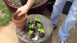 How to Transplant basil plus basil growing tips.