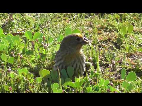 North American Wildlife --- House Finch, With The Rarer Yellow Face & Neck Coloration