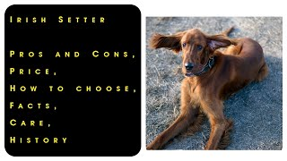 Irish Setter. Pros and Cons, Price, How to choose, Facts, Care, History
