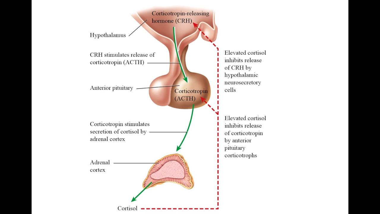 Hormones Of The Adrenal Cortex Cortisol And Aldosterone Youtube