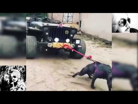 Mahindra JEEP Pulled By CRAZY Pitbull Dog ★ Mind Blowing