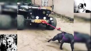 mahindra jeep pulled by crazy pitbull dog mind blowing