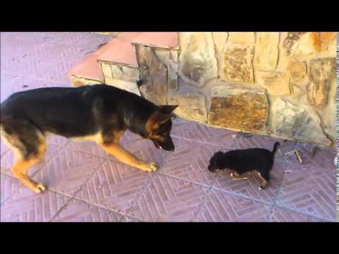 Pastor aleman y un cachorro se ven por primera vez