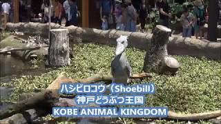 神戸どうぶつ王国 動いてるハシビロコウ(Shoebill)