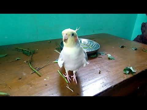 Happy Cockatiel singing and playing