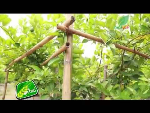 เกษตรยุคใหม่ เทคนิคการปลูกมะนาวนอกฤดู ตอนที่1