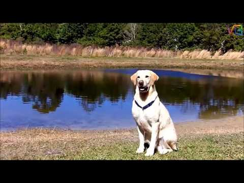 Well trained cute Labrador dogs
