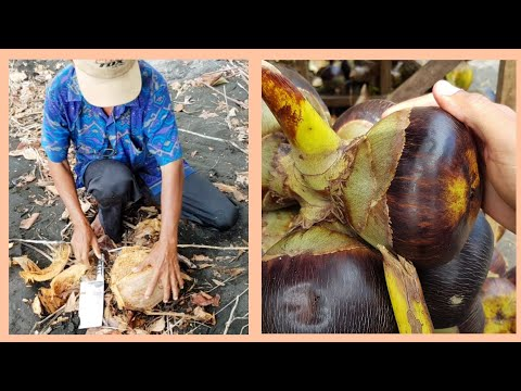 How to open a MATURE COCONUT + Exotic fruit found in NORTH BALI 🥥
