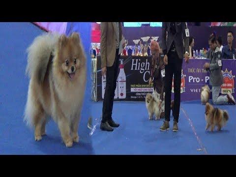 International Dog Show 2019 - Pomeranian Dog Breed -  Cute Dogs