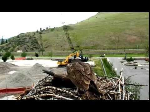 Hellgate ospreys Iris and Stanley June 1st 2015 Stan feeds Iris a long time part #1* T