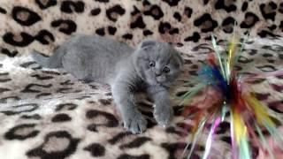 Шотландский вислоухий котёнок голубого окраса голубой мишка
