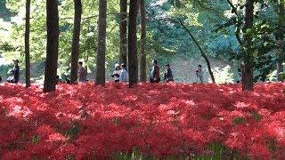 埼玉県日高市に高麗川の流れる巾着田がありそこには500万本と言われるヒ...