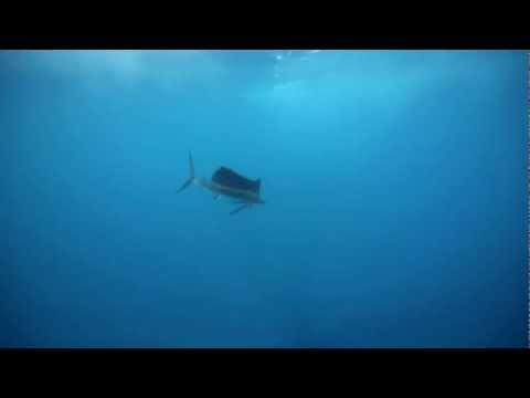 The Billfish Research Project | TEASER