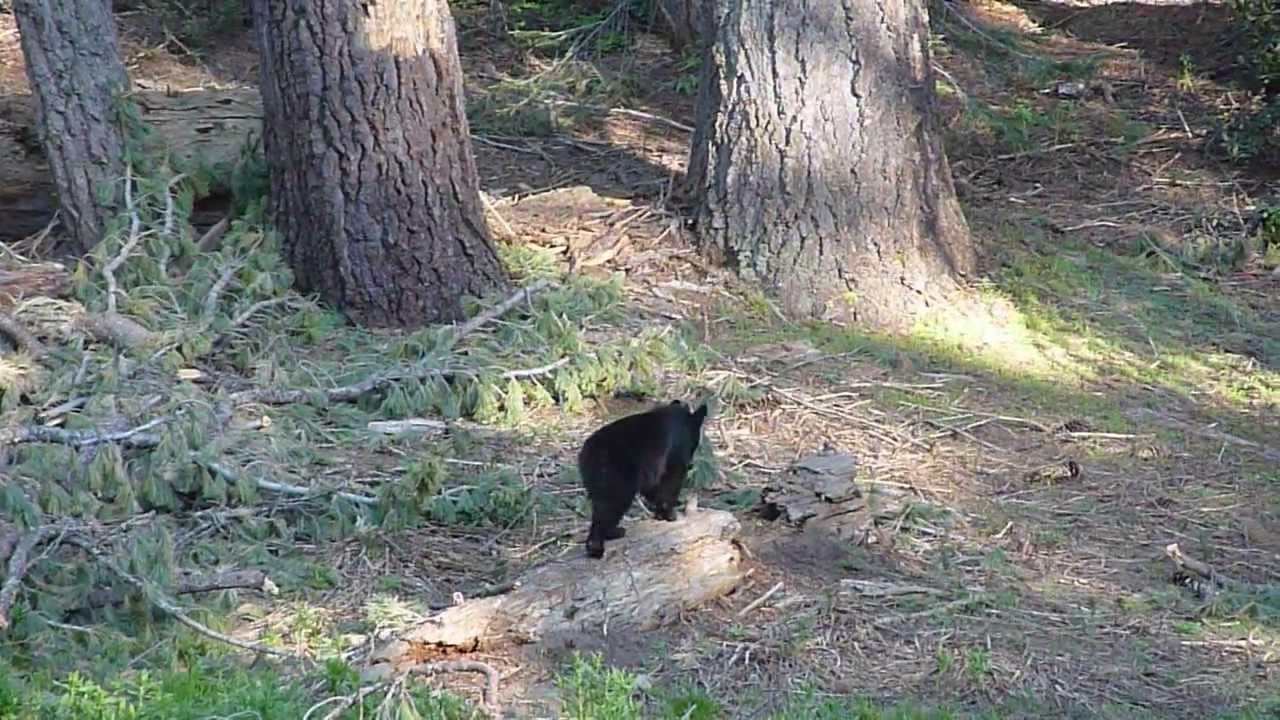 bear sighting at Dorst Creek campground