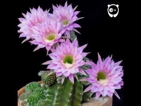 Bunga Cantik Dari Pokok Kaktus Youtube