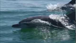 Дельфины. Проникая в тайны .