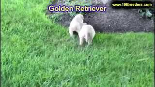 Golden Retriever, Puppies, For, Sale, In, Des Moines, Iowa, Ia, Bettendorf, Marion, Cedar Falls, Urb