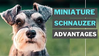 8 Best Advantages of Having a Miniature schnauzer