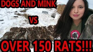 NEW RECORD!!! WELL OVER 150 RATS Caught by My Mink and Dogs!!!