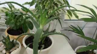 Уход за комнатными растениями зимой(Уход за комнатными растениями зимой. Здравствуйте. На этом канале я буду делиться своим опытом по выращива..., 2014-12-24T16:11:05.000Z)