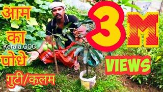 #आम का #पेड़ में #गुटी कैसे #बान्धे/#Air#Layering#Mango#Tree#keralagoc#Keralagochindi