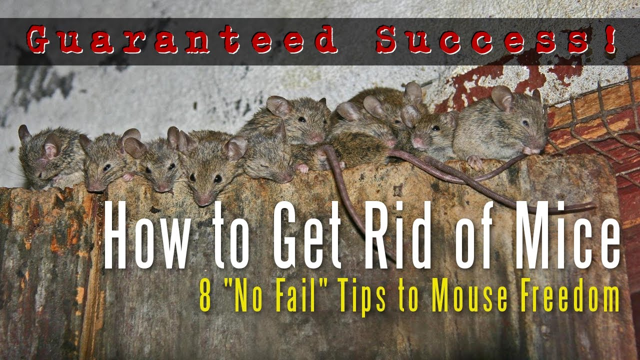 How to Get Rid of Mice in a House Attic Apartment Garage Etc