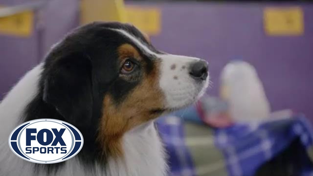 Are Dog Show Handlers The Owners