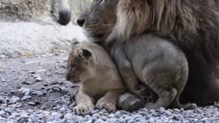 Very Caring Papa Lion Hugs and Grooms Cubs