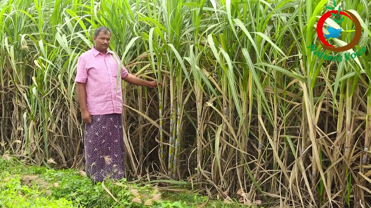 natural farming sugarcane cultivation tips for sixth