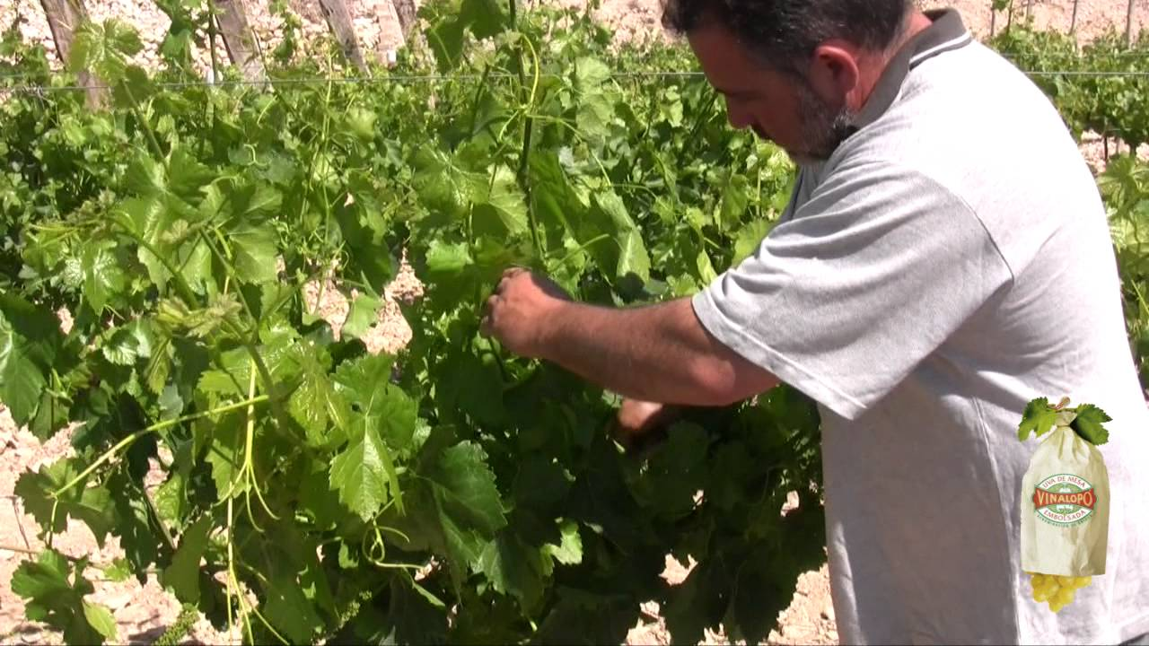 La poda en verde de la vid ii ciclo de vida de la uva - Poda de hortensias en maceta ...