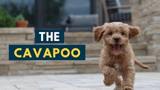 The Cavapoo: Everything You Should Know About The Adorable Dog