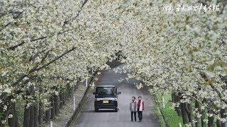 秋田県大仙市太田町の大台スキー場の前に咲く黄桜の並木が見頃を迎えて...