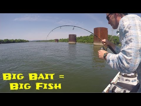 Catching A BIG CATFISH On LARGE BAIT In SHALLOW WATER