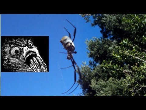 MASSIVE Spider - South Africa