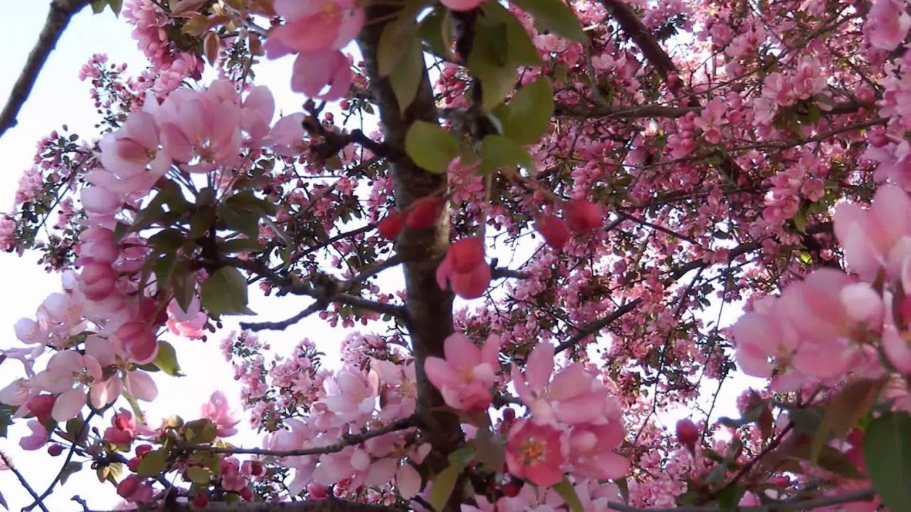 Crabapple Tree Blossoms Youtube