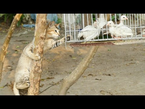 Crazy Cats Attack Tithir Birds On Tree cage