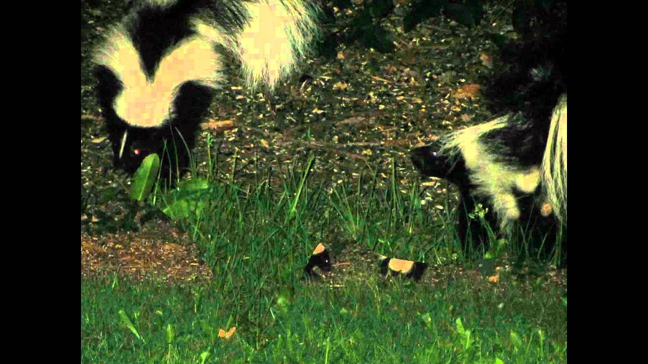 Two Skunks In My Backyard