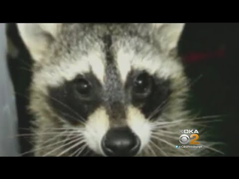 Officials: Strange-Acting Raccoons In Ross Twp. Test Positive For Virus