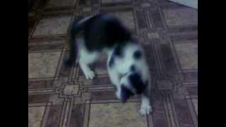 Кот дерет линолеум